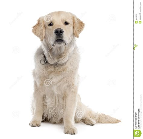 11 month golden retriever golden retriever 11 months stock photography image 9053202