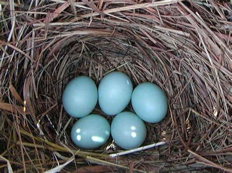 nests eggs and birds 4grassnest jpg jpg