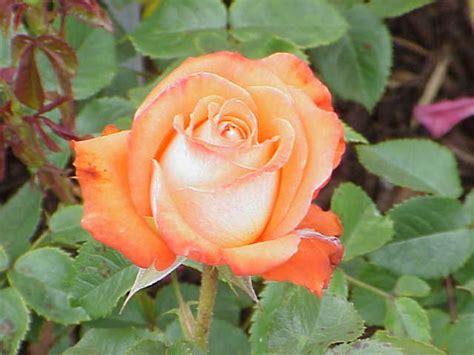 Minyak Atsiri Bunga Mawar manfaat bunga mawar untuk wanita bilqizd