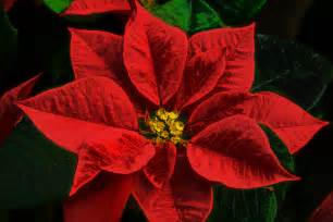fact or fiction are poinsettia plants poisonous
