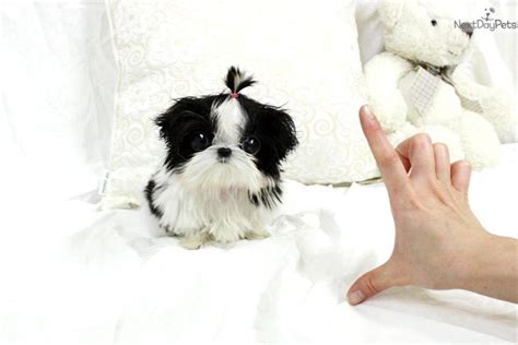 teacup puppies shih tzu maltese shih tzu yorkie mix breeds picture