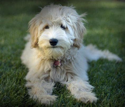 golden retrievers for sale australia golden retriever poodle mixed for sale bundaberg dogs for sale puppies for sale
