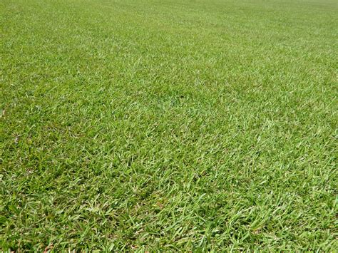 common centipede sod grass from dmg turf
