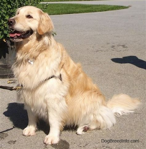 different types of golden retrievers golden retriever information