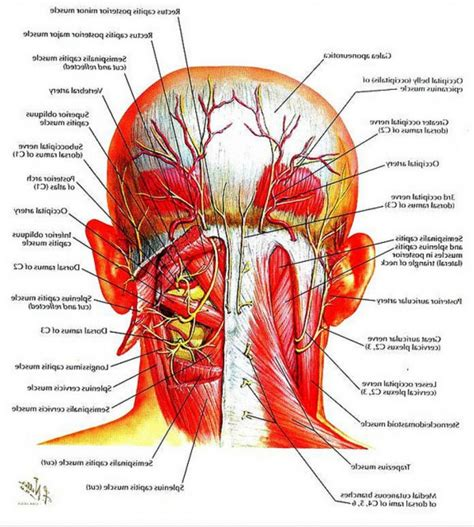 easy notes on muscles of the back learn in just 6 minutes