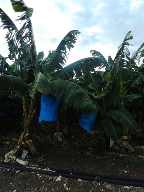 cipro turisti per caso paphos piantagioni di banani viaggi vacanze e turismo