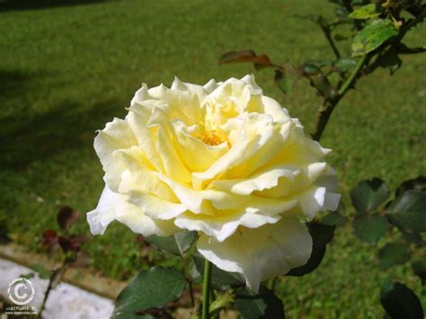 Photo collection of Flowers, Roses collection   Haggala in