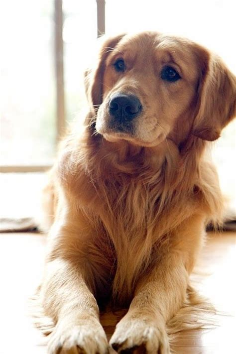 can a golden retriever be a guard 25 best ideas about dogs on doge breed baby dogs and doge