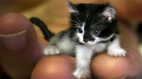 world s smallest breed world s smallest cats cat breeds 2016 purrform