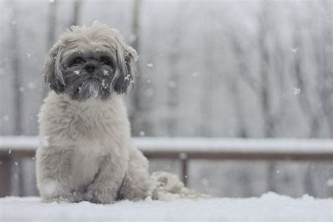 shih tzu in snow 1000 images about shih tzus on shih tzu shih tzus and merry