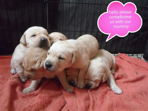 puppies pictures labrador puppys microchip pedigree mansfield nottinghamshire pets4homes