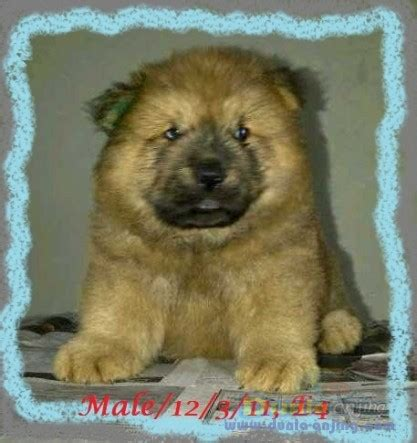 Jual Anakan Chow Chow Best Quality dunia anjing jual anjing chow chow quality chow2