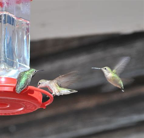 hummingbird banding flight of the peregrine