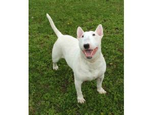 bull terrier puppies for sale in nc bull terrier puppies in arkansas