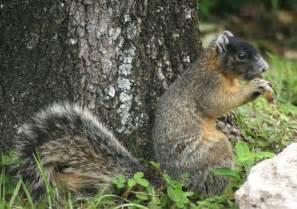 Fox squirrel florida eco travel guide