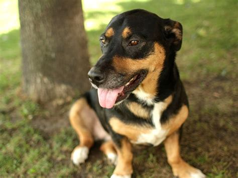 beagle and rottweiler mix beagle rottweiler mix photo happy heaven