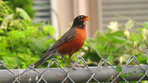 robin call bird   orange chest youtube