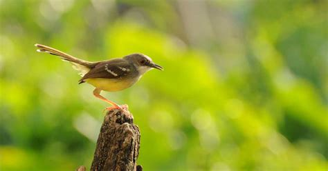 Pakan Lolohan Untuk Ciblek ciri ciblek jantan burung hobi