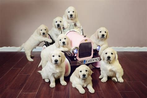 how much exercise should a golden retriever get 7 month golden retriever dogs in our photo