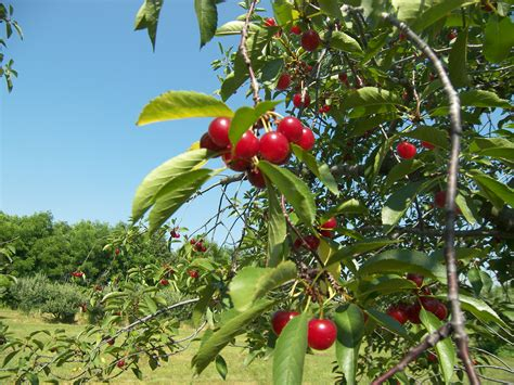 fruit tree nursery michigan u review tart cherries at wasem fruit farm milan