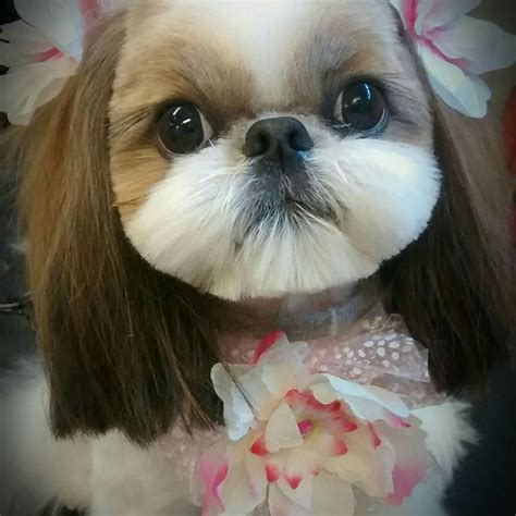 shih tzu puppy hair styles 75 best shih tzu grooming hairstyles images on doggies hair dos and shih tzu