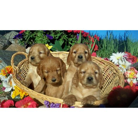 golden retriever puppies for sale in northern ireland puppies for sale setters in iron mt michigan