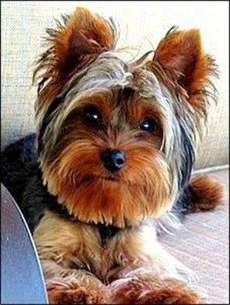 yorkie rescue southern california best 25 terrier rescue ideas on yorkie yorkie cut and yorkie