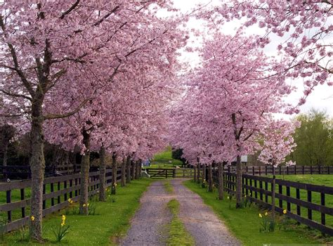 the most beautiful flowering trees in your garden page 2 gardening forums