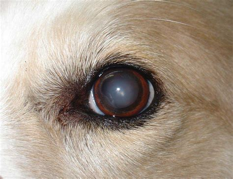 nuclear sclerosis in dogs canine cataracts affect dogs of all ages
