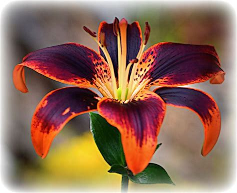 best 25 tiger lily flowers ideas on pinterest lilies