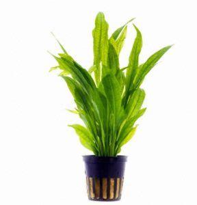 Pupuk Dasar Alternatif Untuk Aquascape apa saja tanaman aquascape untuk pemula yang sesuai
