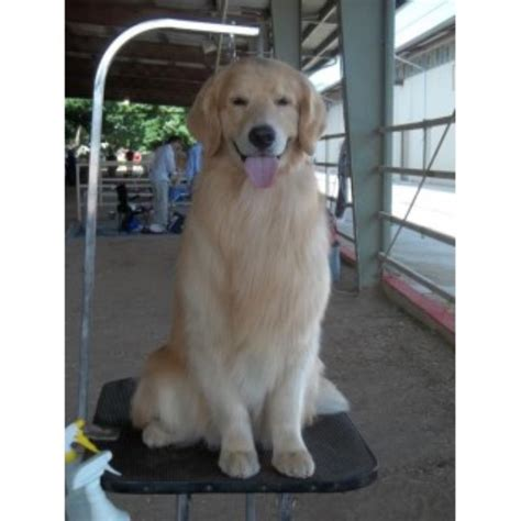 golden retriever wyoming highland springs breeders golden retriever breeder in rock springs wyoming