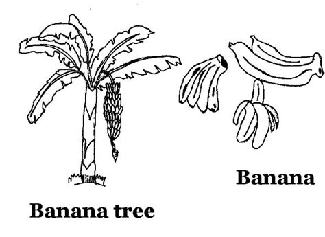 Banana Tree Coloring Pages Banana Tree Coloring Page