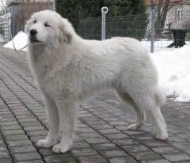 great pyrenees vs wolf dog breeds picture