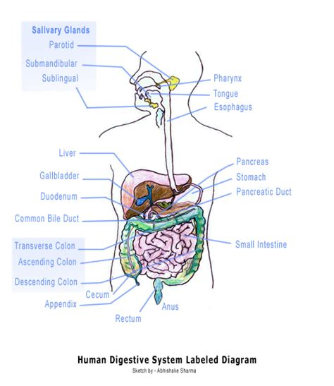 labeled digestive system diagram digestive tract diagram