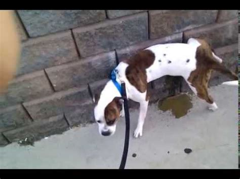 how to discipline a dog for peeing in the house dog pee funnydog tv