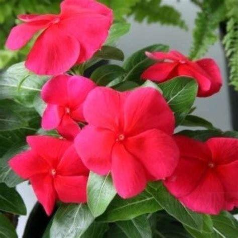 Pupuk Untuk Bunga Tapak Dara jual bibit unggul tanaman tapak dara merah import bibit
