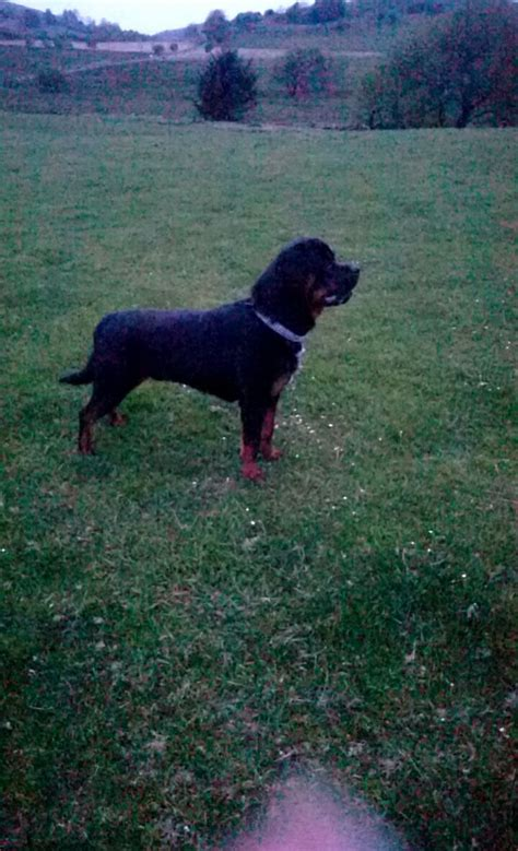 big rottweiler puppies big rottweiler for stud ystrad meurig ceredigion pets4homes