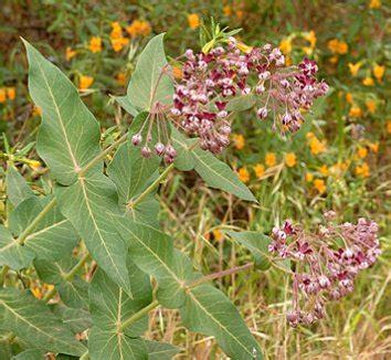 Asclepias cordifolia | Heart Leaf Milkweed| plant lust Asclepias Cancellata
