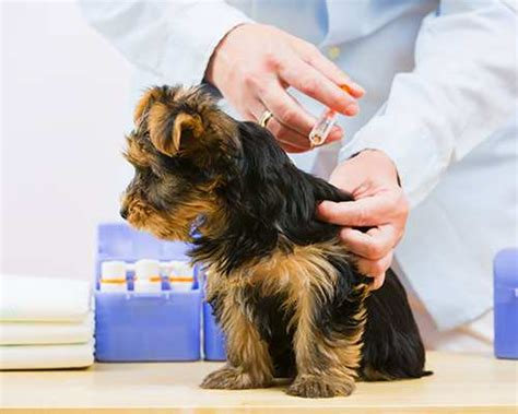 yorkie vaccinations puppy vaccination schedule vaccination costs
