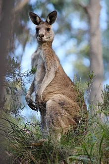 eastern grey kangaroo simple english wikipedia   encyclopedia