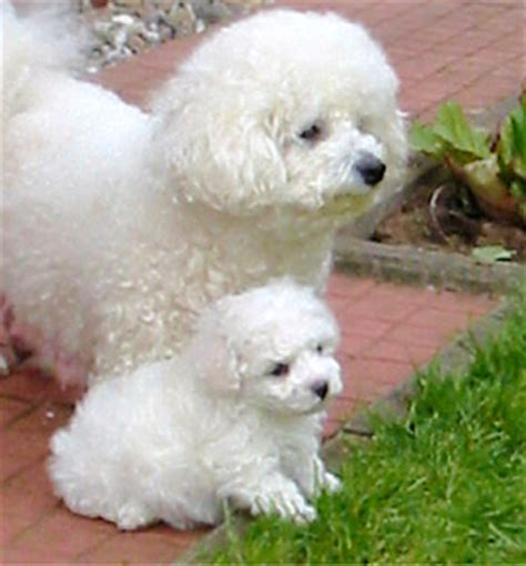 Bichon Frise Also Search For Bichon Frise Also Called Bichon A Poil Frise And Bichon Tenerife Memes