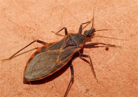 bed bugs in florida deadly quot kissing bug quot has infiltrated florida miami new times