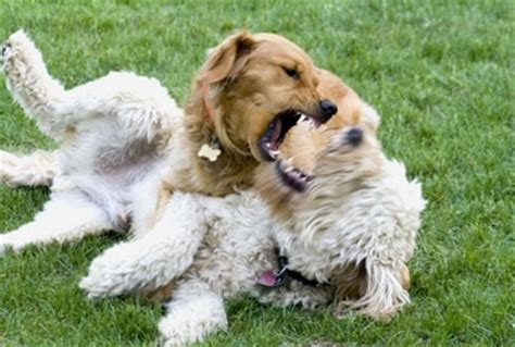 aggressive golden retriever puppy how to stop my golden retriever from fighting with other dogs