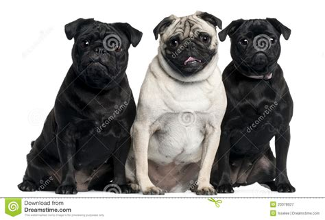 three pugs three pugs sitting royalty free stock photography image 20378927