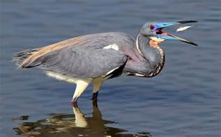 tri colored heron tricolored heron photos phil lanoue photography