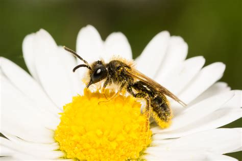 wur bloemen museumonderzoek wijst uit wilde bijen mede