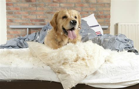 why do dogs scratch their beds why does my dog scratch at the bed pets magazine