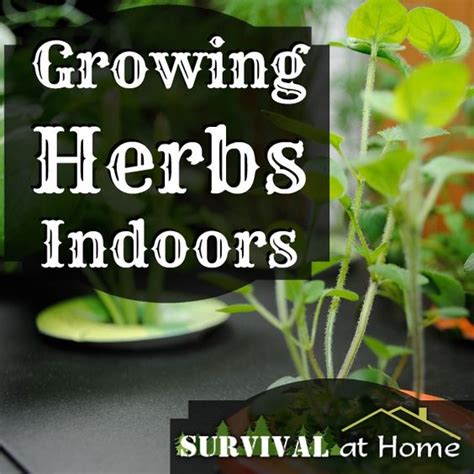 grow herbs indoors growing herbs indoors growing herbs and herbs on pinterest