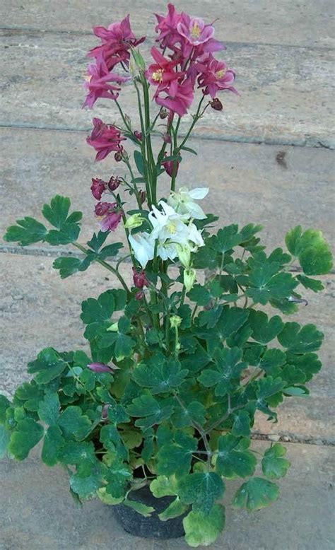 piante fiorite ricanti piante da bordura perenni piante perenni da bordura le